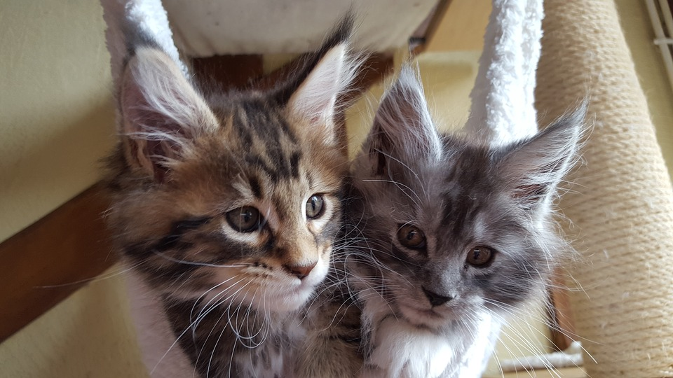 Mancoon cat kittens